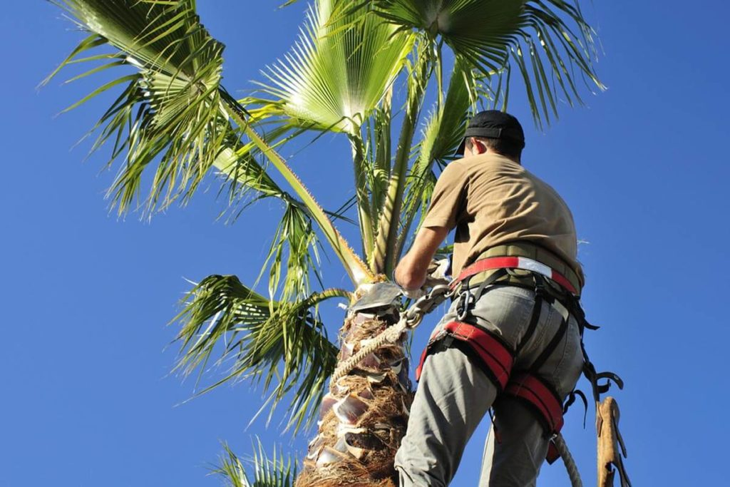 Palm Tree Trimming and Removal-Albuquerque Tree Trimming and Stump Grinding Services-We Offer Tree Trimming Services, Tree Removal, Tree Pruning, Tree Cutting, Residential and Commercial Tree Trimming Services, Storm Damage, Emergency Tree Removal, Land Clearing, Tree Companies, Tree Care Service, Stump Grinding, and we're the Best Tree Trimming Company Near You Guaranteed!