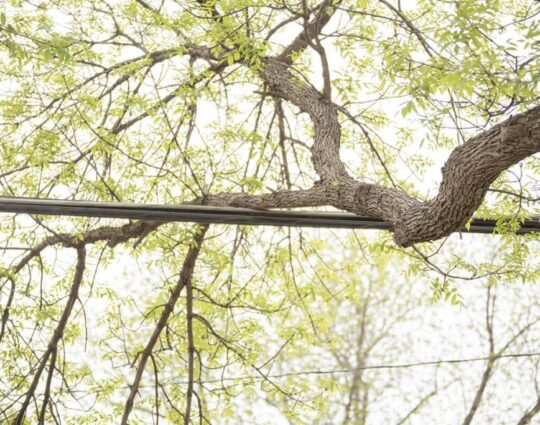 Tree Bracing and Cabling-Albuquerque Tree Trimming and Stump Grinding Services-We Offer Tree Trimming Services, Tree Removal, Tree Pruning, Tree Cutting, Residential and Commercial Tree Trimming Services, Storm Damage, Emergency Tree Removal, Land Clearing, Tree Companies, Tree Care Service, Stump Grinding, and we're the Best Tree Trimming Company Near You Guaranteed!